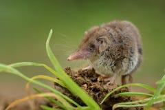 在沃土的一点白齿状的泼妇Crocidura suaveolens 与站立在草甸的棕色毛皮的小的昆虫吃哺乳动物在庭院里 图库摄影