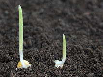 在沃土的玉米萌芽 免版税图库摄影
