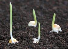 在沃土的玉米萌芽 免版税库存照片