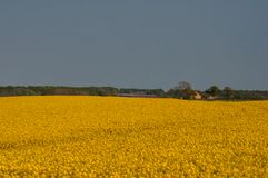 在沃尔丁堡附近的油菜籽领域在丹麦 免版税图库摄影