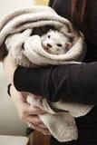 在沐浴逗人喜爱的白鼬以后在面盆 库存照片