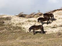 在沙丘的三个野马 库存图片
