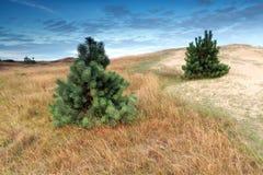 在沙丘的两棵杉树 免版税库存照片