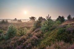 在沙丘的有薄雾的日出与开花的石南花 库存图片