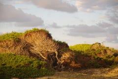 在沙丘的杉树 免版税库存照片