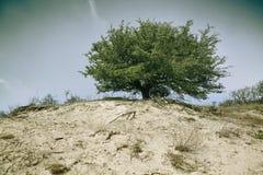 在沙丘的树 库存图片