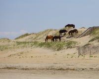在沙丘的牧群 免版税库存照片