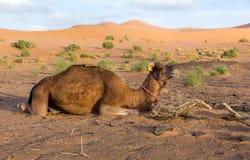 在沙丘背景的骆驼  库存照片
