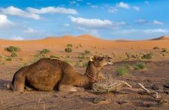在沙丘背景,撒哈拉大沙漠的骆驼 库存图片