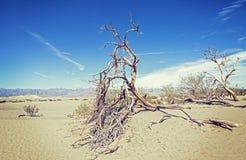 在沙丘,死亡谷沙漠的干燥树 免版税库存照片