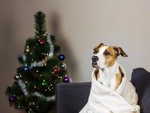 在沙发和圣诞节毛皮树的狗 库存图片