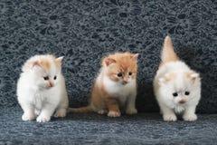 在沙发的三只逗人喜爱的小猫 库存照片
