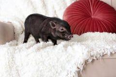 在沙发的可爱的黑微型猪 免版税库存照片
