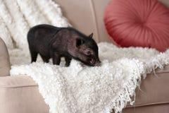 在沙发的可爱的黑微型猪 库存照片