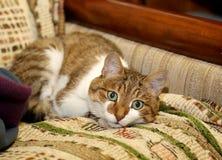 在沙发的家猫在公寓 免版税库存照片
