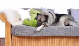 在沙发的狗 库存照片