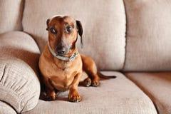 在沙发的达克斯猎犬 库存图片