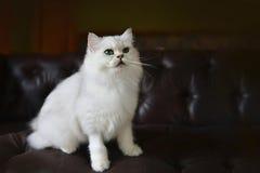 在沙发的逗人喜爱的猫 免版税库存照片