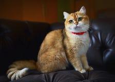 在沙发的逗人喜爱的猫 免版税库存图片