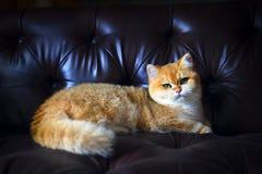 在沙发的逗人喜爱的猫 免版税图库摄影