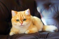 在沙发的逗人喜爱的猫 图库摄影