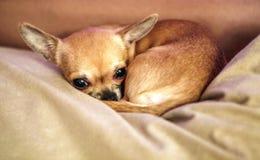 在沙发的滑稽的奇瓦瓦狗小狗 免版税库存照片