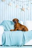 在沙发的Rhodesian Ridgeback小狗在海洋样式内部 免版税库存照片