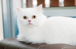 在沙发设置的白色波斯猫 免版税库存照片