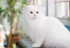 在沙发设置的白色波斯猫 免版税库存图片