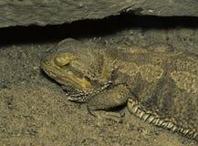 在沙子伪装的有胡子的龙蜥蜴在岩石下 免版税库存照片
