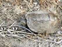 在沙子侧视图的淡水乌龟 库存照片