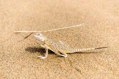 在沙子关闭的美丽的矮小的灰色蜥蜴 免版税库存图片