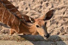 在沙子关闭的野生生物鹿 免版税图库摄影