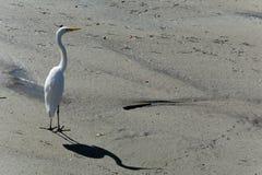 在沙子地板上的孤独的苍鹭与阴影 免版税库存图片