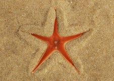 在沙子埋没的橙色梳子海星一半- Astropecten sp 库存照片