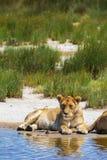 在沙子岸的雌狮 塞伦盖蒂狮子自豪感 闹事 免版税图库摄影