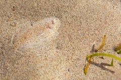 在沙子底部的单一鱼 库存图片