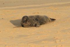 在沙子报道的灰色封印 图库摄影