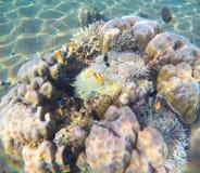 在沙子海底的珊瑚礁 海珊瑚和植物共生 免版税图库摄影