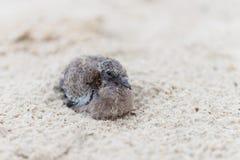 在沙子海滩的小幼鸟 库存照片