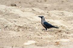 在沙子海滩的灰色掠夺 免版税库存图片