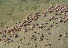 在沙子海滩的小螃蟹海洋 免版税库存图片
