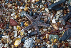 在沙子海滩的布朗海星 免版税库存照片