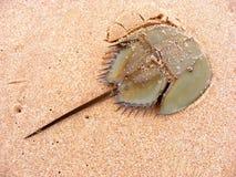 在沙子海滩的鲎 图库摄影