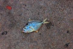 在沙子海滩的死亡鱼 库存照片