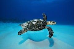 在沙子游泳乌龟 免版税库存图片