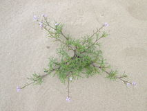 在沙子的一朵花 图库摄影