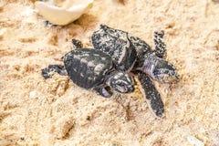 在沙子的两只小的乌龟与蛋壳 库存照片