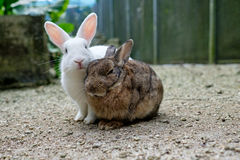 在沙子的两只逗人喜爱的兔子 免版税图库摄影