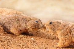在沙子的两条praire狗在动物园公园 库存图片